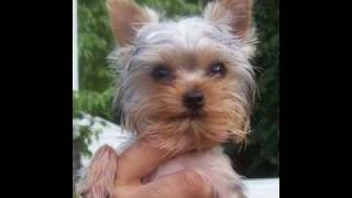 Yorkshire Terrier Rescue Puppy