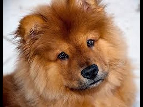 Chow chow dog breed information youtube - Images of chow chow puppies ...
