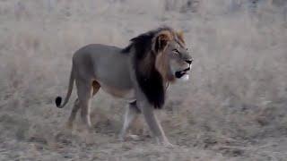 Así era el gran león Cecil antes de ser cazado