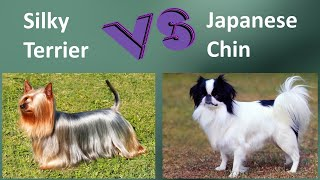 Silky Terrier VS Japanese Chin  Breed Comparison  Japanese Chin and Silky Terrier Differences