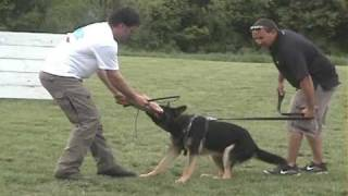 8 Month Old German Shepherd Dog Doing Protection Work For Schutzhund