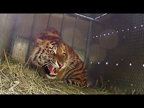 Extremely Rare - Four Siberian Tigers Released Into The Wild