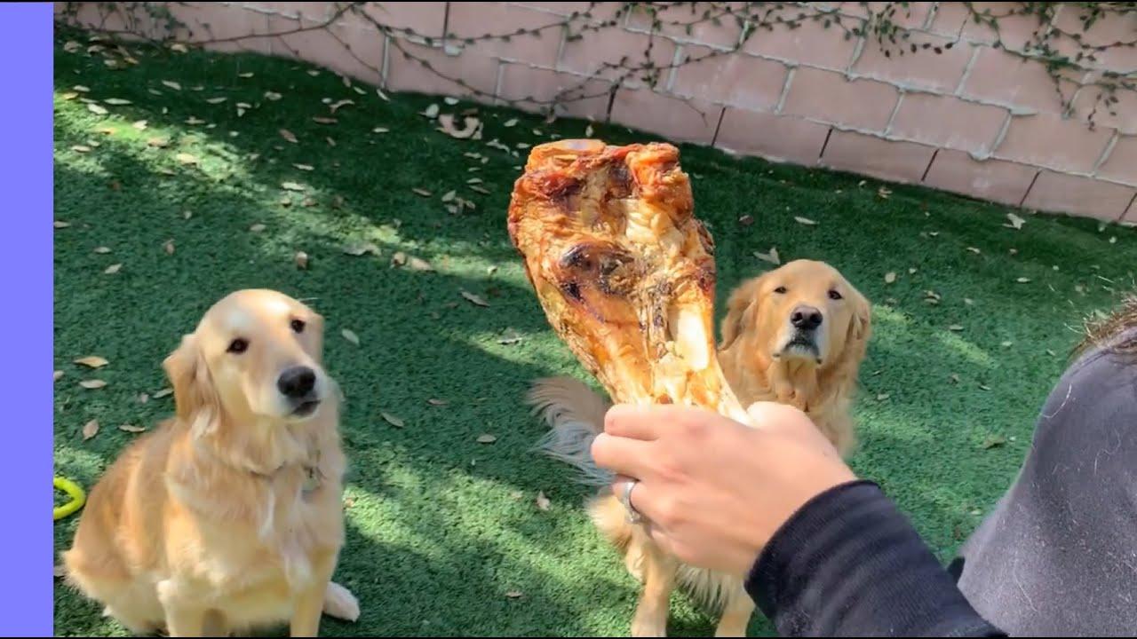 Golden Retrievers Boomer and Bella get HUGE bones to eat