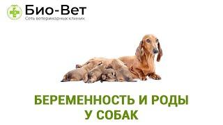 Беременность и роды у собак. Ветеринарная клиника Био-Вет.