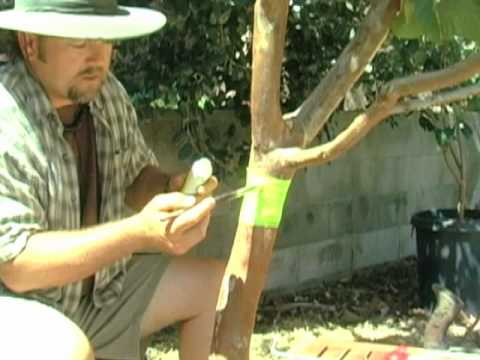 Organic Ant Control For Fruit Trees Youtube