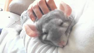 Chinchilla falling asleep being cuddled thumbnail