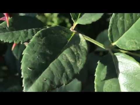 Ложная мучнистая роса (ЛМР):Лечение и профилактика. Фунгициды для профилактики грибковых заболеваний