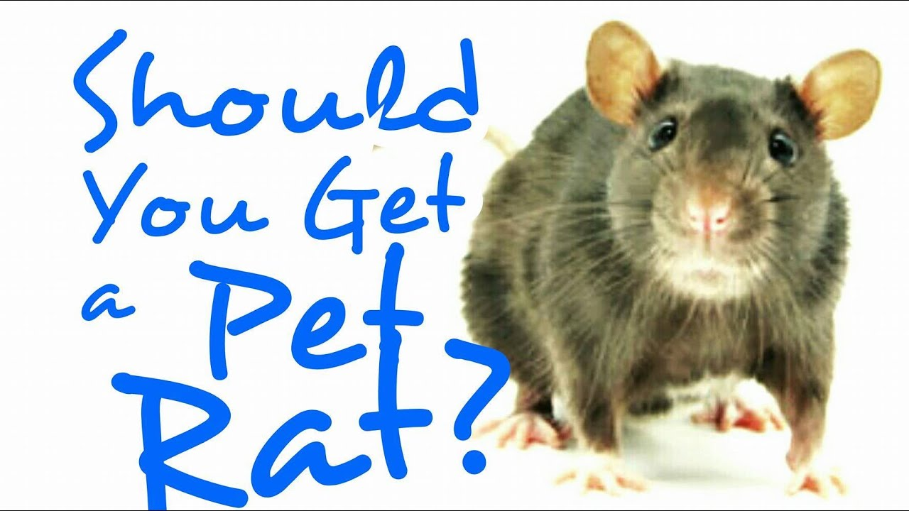 how to play with a pet rat