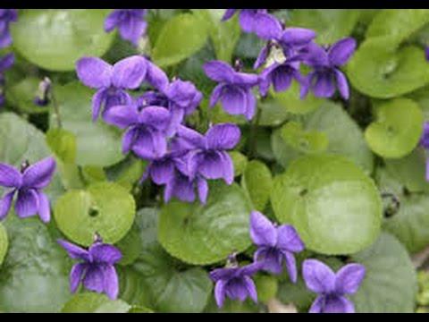 viola plants perennial