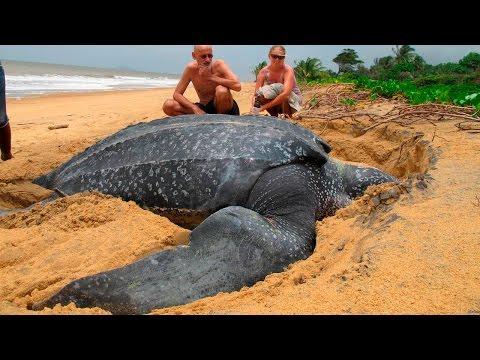 Самые БОЛЬШИЕ Черепахи в МИРЕ