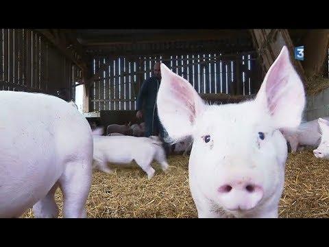 Un jour avec... un producteur de porcs bio en Limousin