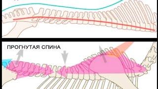 Биомеханика работы спины лошади
