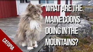 Maine Coon Cat Video - What are the Maine Coon doing in the Mountains?