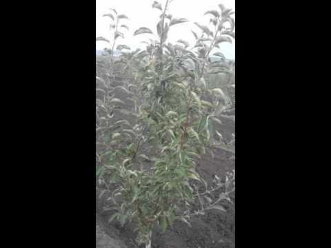 Сорт яблони Айдаред фото, отзывы, описание, характеристики