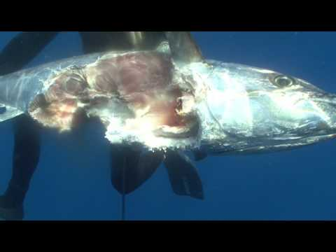 Geyser Bank spearfishing trip: a dogtooth tuna and wahoo bonanza!
