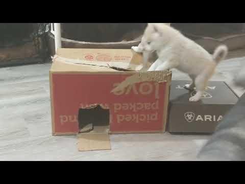 Alaskan Klee Kai puppies in a box