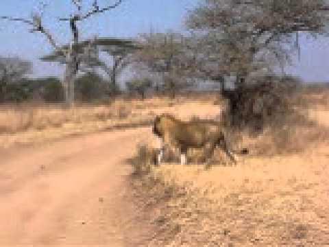 Lion kills a Thomson's gazelle - Serengetti, Tanzania