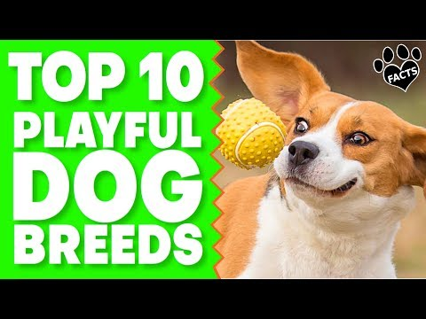 Top 10 Most Playful Dog Breeds