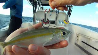 "How to Bridle Rig A Live Bait ""Goggle Eye"""