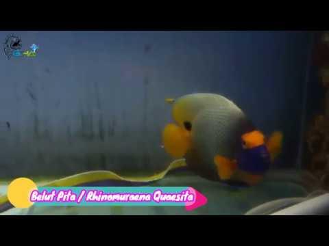 Liukan Indah Belut Pita Dalam Aquarium (Rhinomuraena Quaesita)