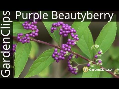 Purple Beautyberry - Callicarpa dichotoma -