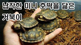 납작한 미니 호떡을 닮은 육지거북이 39팬케이크 육지거…
