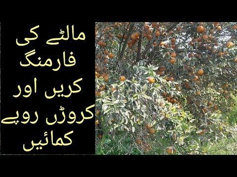 Orange farming in Pakistan | malta farm in Punjab | info media pk