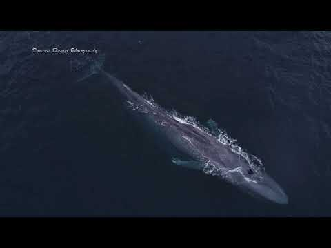 Drone Films Blue Whale Mom and Calf Playing with Bottlenose Dolphin thumbnail