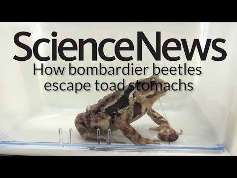 How bombardier beetles escape toad stomachs | Science News