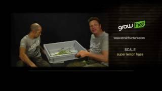 Super Lemon Haze - Green House Grow Sessions
