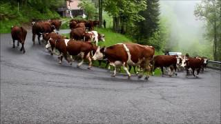 montée en Alpage 2016