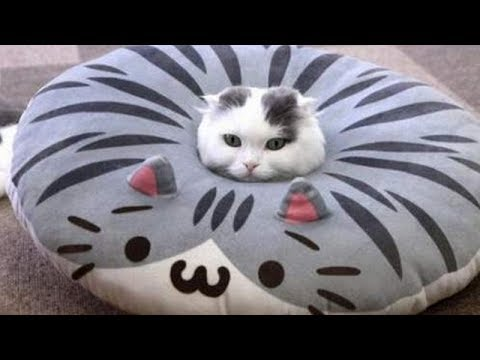 Very FUNNY CATS   Tremendous HARD TRY NOT TO LAUGH problem