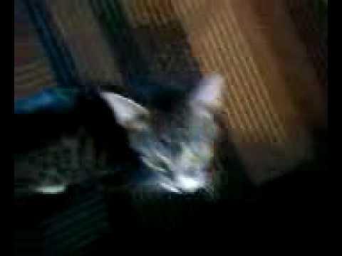 hydrangea poisonous to cats