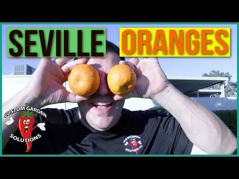 Seville Oranges- Bitter Oranges, Sour Oranges, Tart Oranges