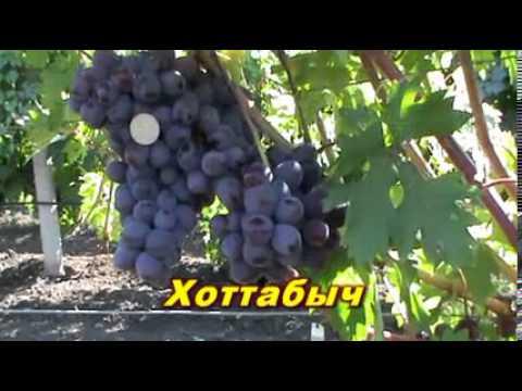 новые гибридные формы винограда фото