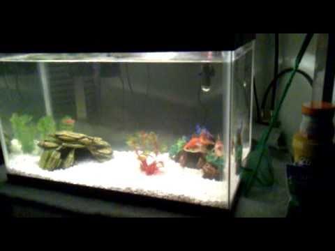 10 Gallon Tank With Ryukin Goldfish Youtube