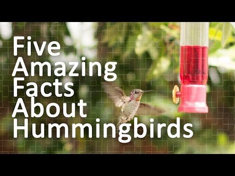 Five Amazing Facts About Hummingbirds