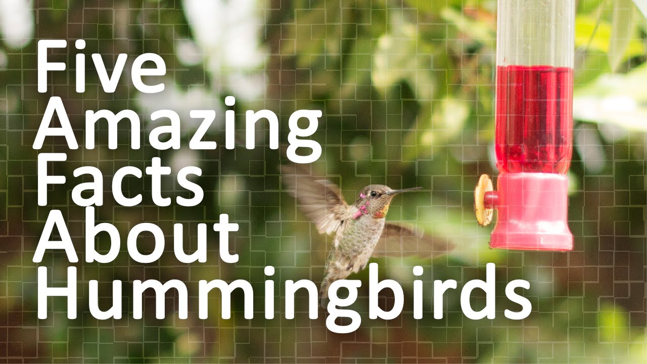 five amazing facts about hummingbirds youtube