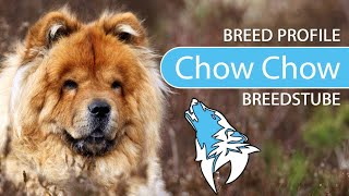 Chow Chow [2020] Breed, Temperament & Training