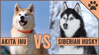 Akita Inu vs Husky