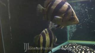Taiwan 2010 : Monster Wide Bar Datnoid Collection : HD quality