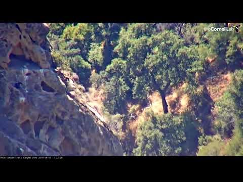 California Condor Chick Loses Footing, Skates Down Cliffside –Sept. 9, 2019