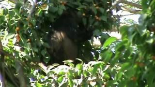 singes hurleurs au costa rica howler monkeys