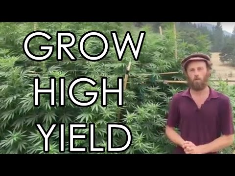 How To Grow High Yield Cannabis Plants- Bending, Training, & Supporting Part 2