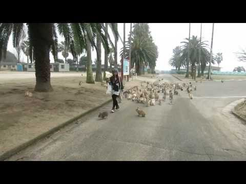 Rabbits Chase A Woman With Treats On Rabbit Island In Japan