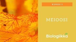Sukusolujen synteesi - Meioosi