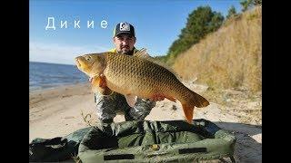 Дикі САЗАНИ. Рекордні риби на дикунів. Рибалка з передплатником Ч. 2 .#Ritterfishing #Карпфишинг #Сазан