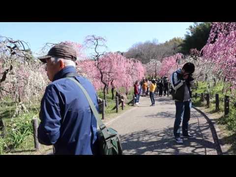 Japonya'da Erik Ağaçları Çiçek Açtı