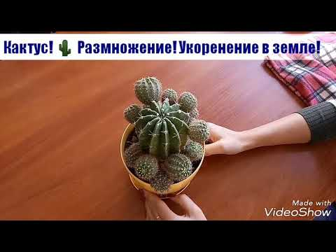Как пересаживать деток кактуса