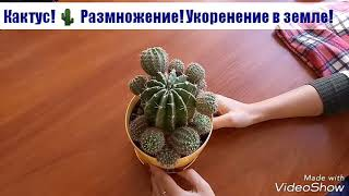 видео Опунция кактус уход в домашних условиях и размножение